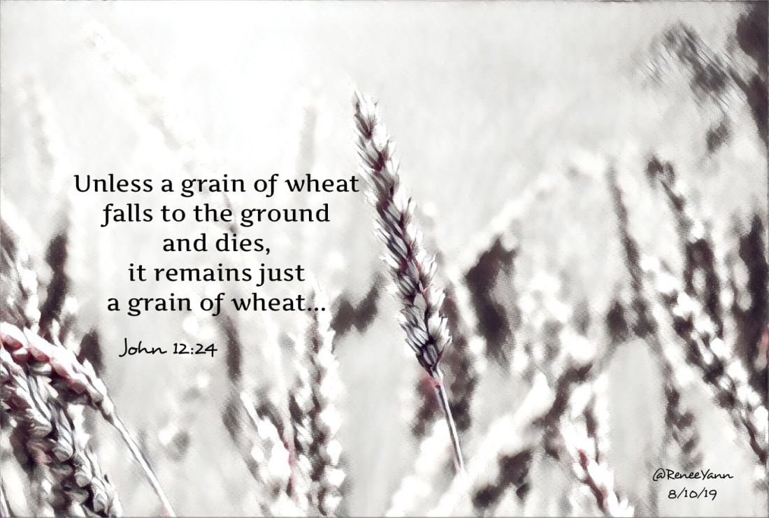 John12_24 grain wheat